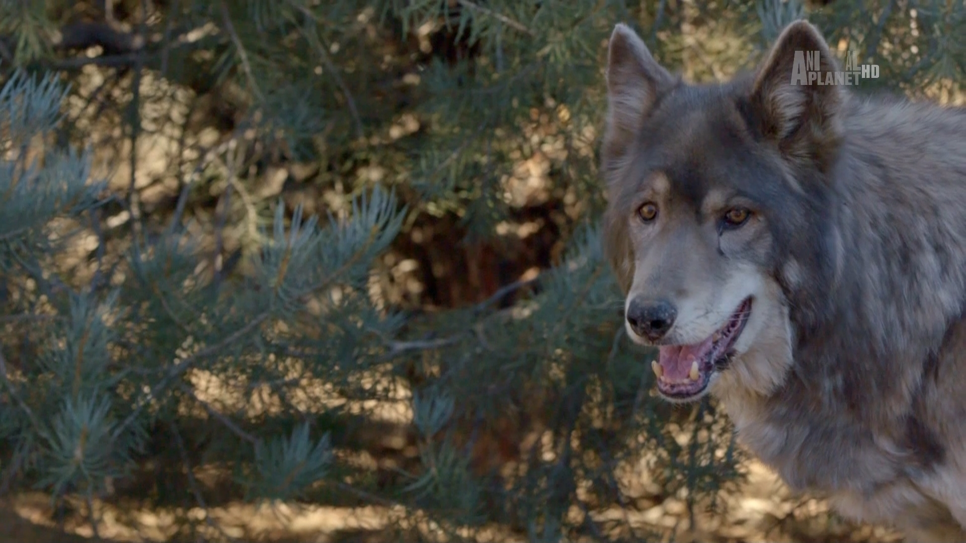Animal Planet: Волки и воины / Wolves and Warriors [01-03 из 08] (2018/HDTV)